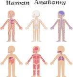 Anatomie humaine pour des enfants illustration libre de droits