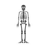 Anatomie humaine squelettique Squelette de noir de Halloween de vecteur d'isolement sur le blanc Image libre de droits