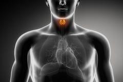 Anatomie mâle thyroïde Photos libres de droits