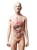 Anatomie masculine Images stock