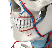 Anatomie masculine circulatoire principale - illustration 3D illustration de vecteur