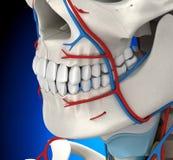 Anatomie masculine circulatoire principale - illustration 3D illustration stock