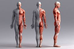 Anatomie, muscles illustration libre de droits