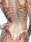 Anatomie, muscles transparant avec le squelette. images libres de droits