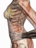 Anatomie, muscles transparant avec le squelette. Photographie stock