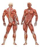 Anatomie musculaire masculine de système illustration stock