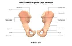 Anatomie postérieure de vue de hanche de système cadre de corps humain illustration libre de droits