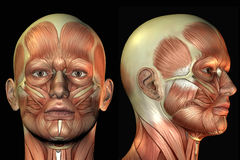 Anatomie principale Photographie stock