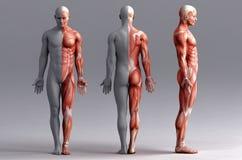 Anatomie, spieren royalty-vrije illustratie