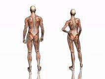 Anatomie, transparant spieren met skelet. Royalty-vrije Stock Fotografie