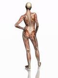 Anatomie, transparant spieren met skelet. Stock Afbeeldingen