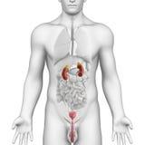 Anatomie urogénitale masculine de région sur la vue d'angle blanche Photos stock