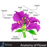 Anatomie van Bloem Stock Afbeeldingen