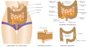 Anatomie van Darm Royalty-vrije Stock Fotografie
