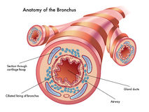 Anatomie van de bronchie Royalty-vrije Stock Fotografie