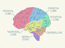Anatomie van de hersenen vector illustratie