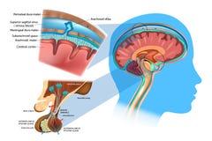 Anatomie van de Hersenen: Meninges, Hypothalamus en Voorafgaande Slijmachtig royalty-vrije illustratie