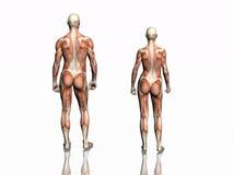 Anatomie van de mens en vrouw. Stock Afbeeldingen