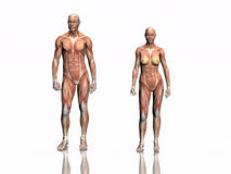 Anatomie van de mens en vrouw. Royalty-vrije Stock Afbeelding