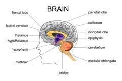 Anatomie van de menselijke hersenen vector illustratie
