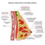 Anatomie van de vrouwelijke borst Stock Foto's