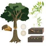 Anatomie van een boom stock illustratie