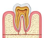 Anatomie van een gezonde menselijke tand Stock Foto's