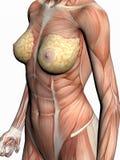 Anatomie van een vrouw. royalty-vrije illustratie