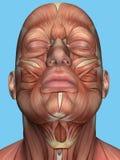 Anatomie van gezicht en halsspieren Stock Foto's