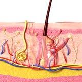 Anatomie van haarfollikelen Stock Afbeeldingen