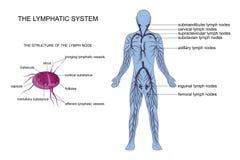 Anatomie van het lymfatische systeem stock illustratie