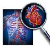 Anatomie van het Menselijke Hart Stock Afbeeldingen