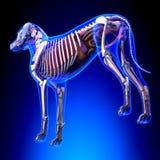 Anatomie van hond de Interne Organen - Anatomie van een Mannelijke Hond Interne Org stock illustratie