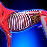 Anatomie van hond de Interne Organen - Anatomie van een Mannelijke Hond Interne Org vector illustratie