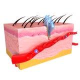 Anatomie van Immune reactie van huid Stock Foto's
