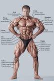 Anatomie van mannelijk spiersysteem stock afbeelding