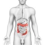 Anatomie van mannelijk spijsverteringssysteem vector illustratie