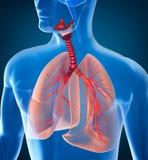 Anatomie van menselijk ademhalingssysteem Stock Afbeeldingen