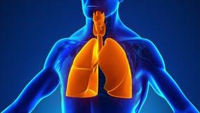 Anatomie van Menselijk Ademhalingssysteem - Medisch Röntgenstraalaftasten royalty-vrije illustratie