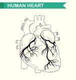 Anatomie van menselijk hart stock illustratie