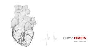 Anatomie van Menselijk Hart op een witte achtergrond Royalty-vrije Stock Foto's