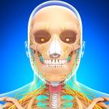 Anatomie van menselijk hoofd zenuwstelsel met keel Royalty-vrije Stock Afbeelding