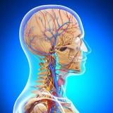 Anatomie van menselijk hoofdskelet vector illustratie