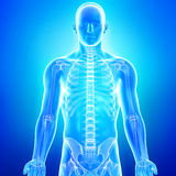 Anatomie van menselijk skelet in blauw vector illustratie