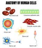 Anatomie van menselijke cellen Stock Afbeeldingen