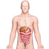 Anatomie van menselijke maag en lever royalty-vrije illustratie