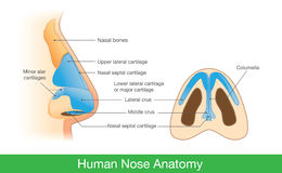 Anatomie van menselijke neus stock illustratie