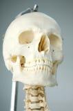 Anatomie van menselijke schedel Stock Foto