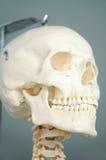 Anatomie van menselijke schedel Stock Afbeelding