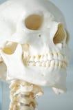 Anatomie van menselijke schedel Stock Fotografie